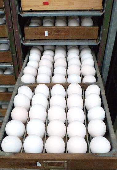 孵化機の転卵機内の卵の写真