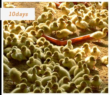10日齢のバルバリー種